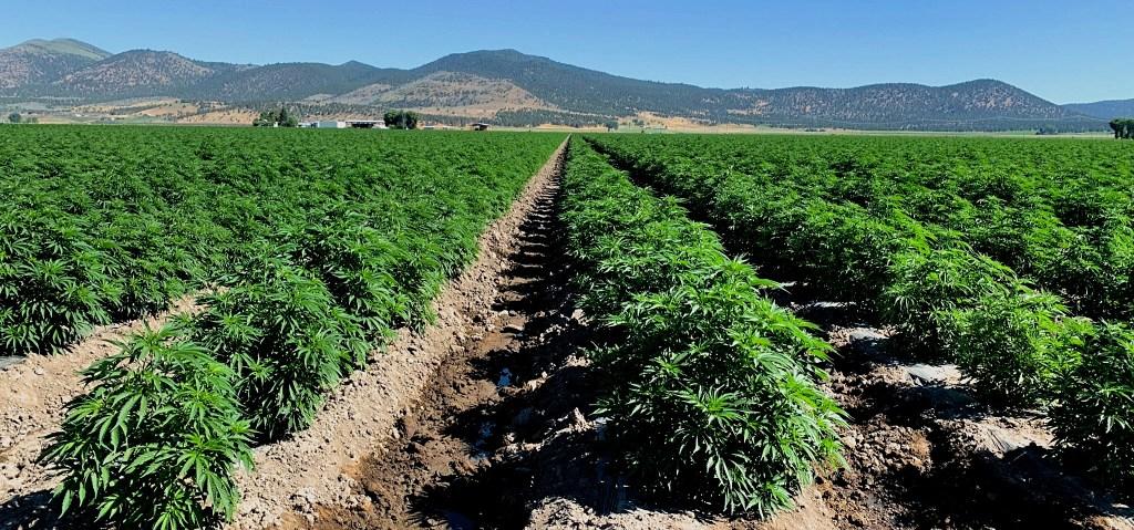 A Klamath Basin hemp field located outside of Klamath Falls in the outskirts of Merrill, Oregon