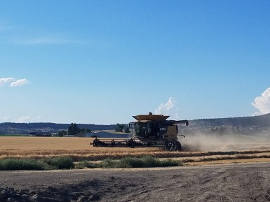 Wheat getting harvested at Gold Dust & Walker Farms' Malin, Oregon headquarters.