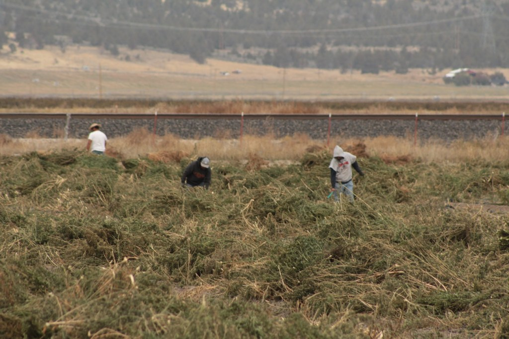 Workers for Gold Dust & Walker Farms piling industrial hemp into windrows to be harvested.