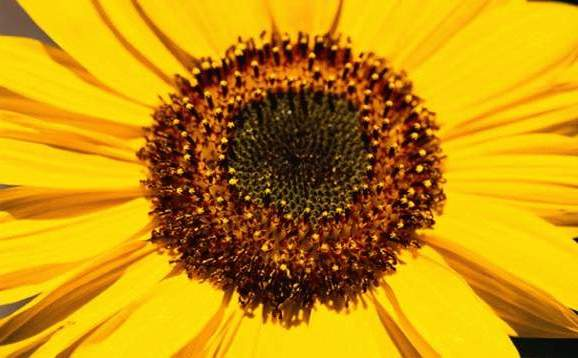 golddustonsunflower