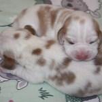 Golden-Daylight-Beagle P-Wurf 1. Woche 05