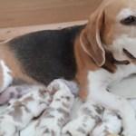 Golden-Daylight-Beagle P-Wurf 1. Woche 07
