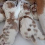 Golden-Daylight-Beagle P-Wurf 1. Woche 09