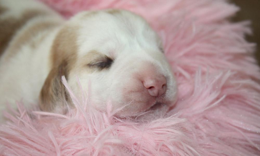 Golden-Daylight-Beagle P-Wurf Hündin Bild 01