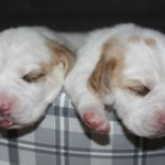 Golden-Daylight-Beagle P-Wurf 2. Woche 13