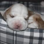 Golden-Daylight-Beagle P-Wurf 2. Woche 14