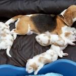 Golden-Daylight-Beagle P-Wurf 3. Woche 03