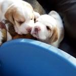 Golden-Daylight-Beagle P-Wurf 3. Woche 06
