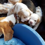 Golden-Daylight-Beagle P-Wurf 3. Woche 07