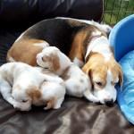 Golden-Daylight-Beagle P-Wurf 3. Woche 08