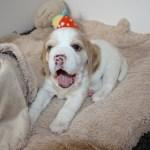 Golden-Daylight-Beagle P-Wurf 4. Woche 01