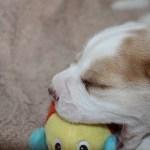 Golden-Daylight-Beagle P-Wurf 4. Woche 02