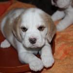 Golden-Daylight-Beagle P-Wurf 4. Woche 09