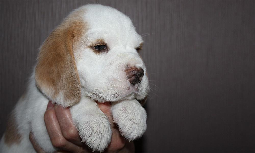 Golden-Daylight-Beagle P-Wurf 4. Woche Kopfstudie Play-Boy