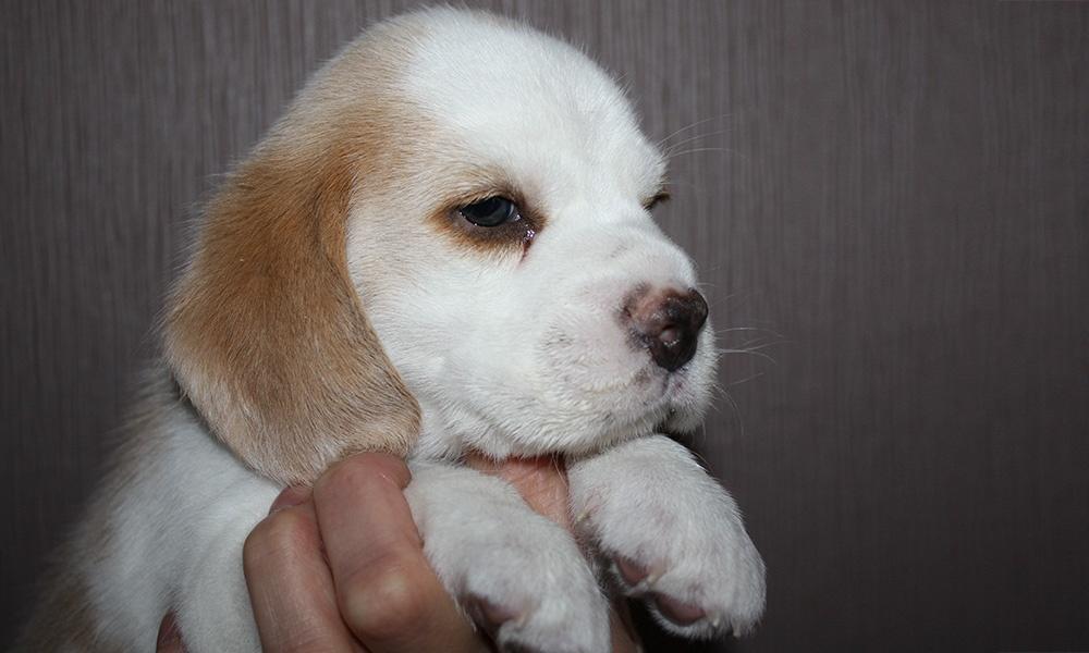 Golden-Daylight-Beagle P-Wurf 4. Woche Kopfstudie Pretty-Boy