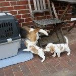 Golden-Daylight-Beagle P-Wurf 5. Woche 05