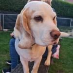 Golden-Daylight-Beagle P-Wurf 6. Woche 01