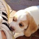 Golden-Daylight-Beagle P-Wurf 6. Woche 04
