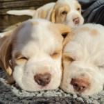 Golden-Daylight-Beagle P-Wurf 6. Woche 08