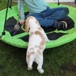 Golden-Daylight-Beagle P-Wurf 6. Woche 10