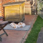 Golden-Daylight-Beagle P-Wurf 6. Woche 15