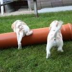 Golden-Daylight-Beagle P-Wurf 6. Woche 20
