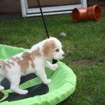 Golden-Daylight-Beagle P-Wurf 6. Woche 25