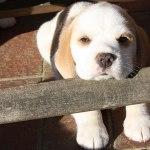 Golden-Daylight-Beagle P-Wurf 6. Woche 26