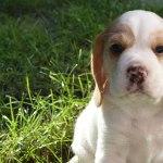 Golden-Daylight-Beagle P-Wurf 6. Woche 28
