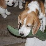 Golden Daylight Beagle P-Wurf 7. Woche 10