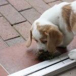 Golden Daylight Beagle P-Wurf 7. Woche 14