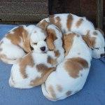 Golden Daylight Beagle P-Wurf 7. Woche 21