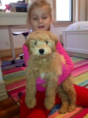 F1  F1B Mini Goldendoodle Breeder with Puppies for Sale