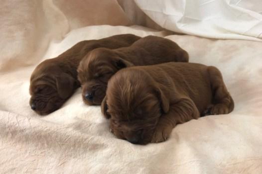 Nora's Irish Setter Puppies