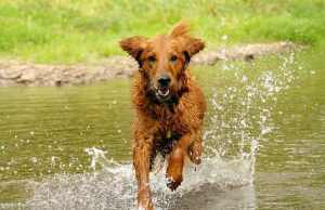 Golden Retriever running in water