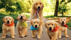 Golden and Pups