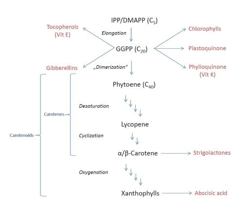 small resolution of carotenoid biosynthesis
