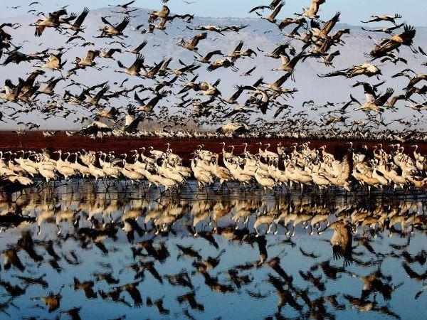 Beautiful cranes take flight