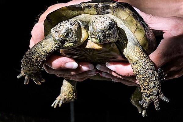 Janus, Two-headed Greek Tortoise (September 3, 2017)