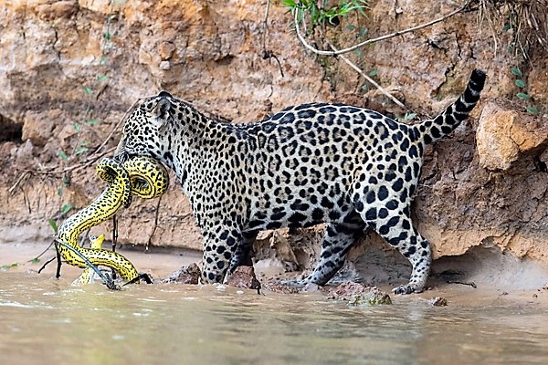 Jaguar kills Yellow Anaconda (September 29, 2017)