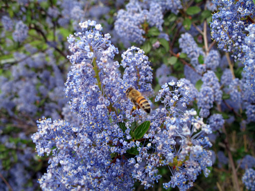 Ceanothus species (California Lilac, Wild Lilac)