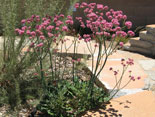 PLANT OF THE MONTH-June, 2016