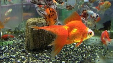 Goldfish Myths: know the facts!