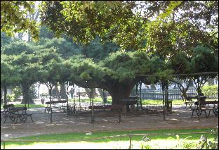 Big ass tree, Lisbon