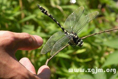 夢見抓蜻蜓_周公解夢夢到抓蜻蜓是什麼意思_做夢夢見抓蜻蜓好不好_周公解夢官網_周公解夢大全