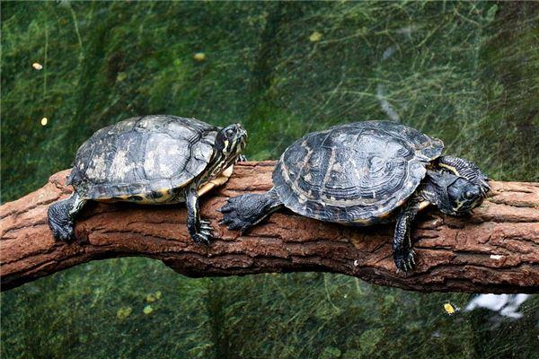 懷孕夢到烏龜什麼意思_周公解夢_周公解夢大全