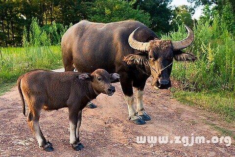 夢見牛犢 小牛_周公解夢夢到牛犢 小牛是什麼意思_做夢夢見牛犢 小牛好不好_周公解夢官網_周公解夢大全