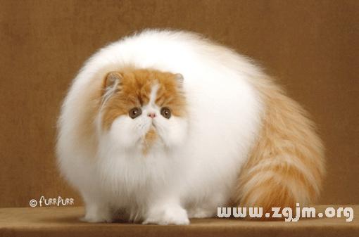 夢見貓懷孕_周公解夢_周公解夢大全