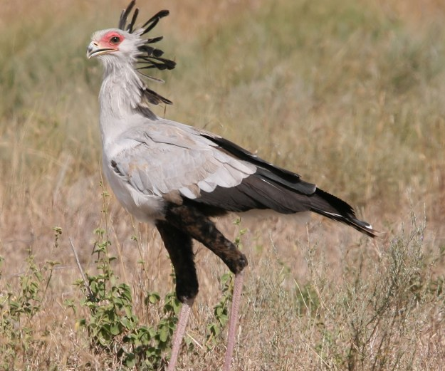 Secretary Bird of the little big five