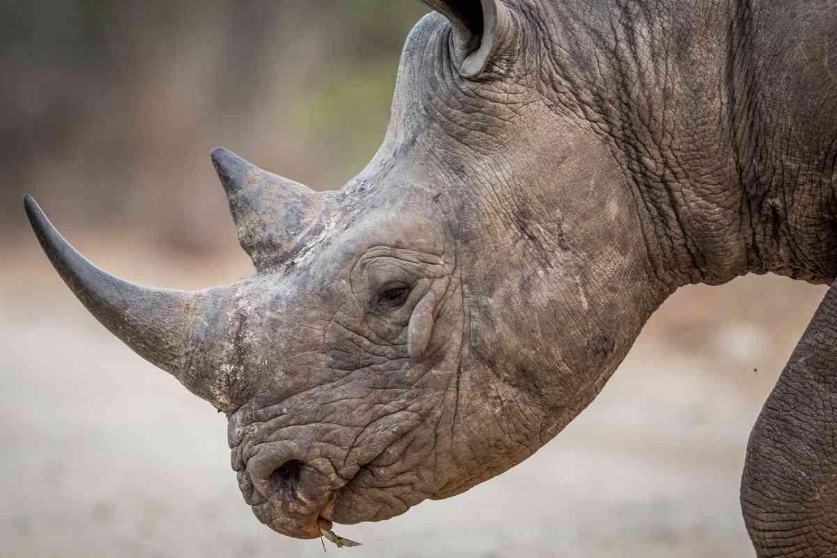 Close up a black rhino
